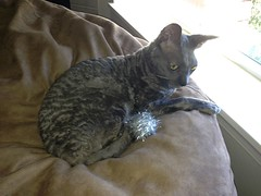 Luna the Cornish Rex