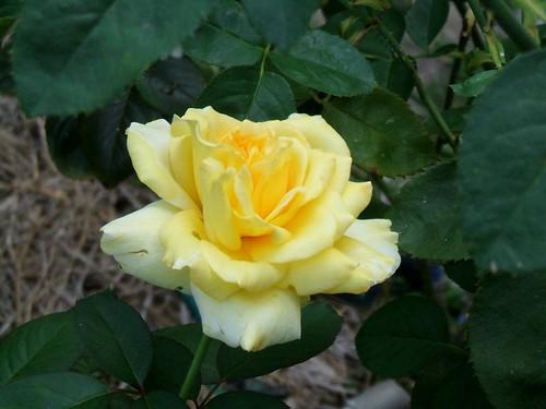 湘南・鎌倉(2013/08/15) バラ園のバラ(1)