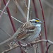 DSC_8507_White-throated_Sparrow by FloridaFlicker