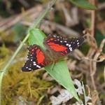Mo, 09.03.15 - 13:28 - Schmetterlinge in allen Farben