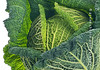 Winter times blues: Savoy Cabbage