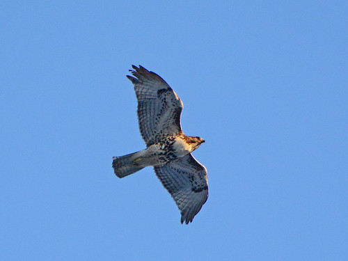 Red-Tail Over Morningside - 5714