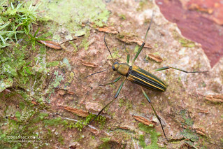 Darkling beetle (Strongylium sp.) - DSC_3807