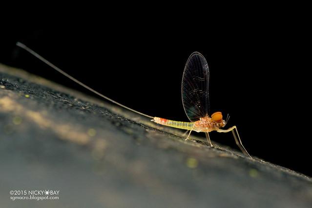 Mayfly (Ephemeroptera) - DSC_4666
