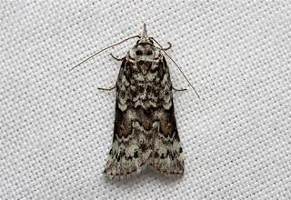 Nycteola frigidana (Frigid Owlet Moth) Hodges # 8975