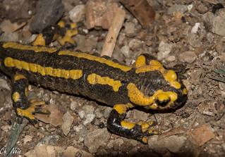 Salamandre de feu