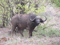 cattle-like mammal, animal, water buffalo, mammal, horn, fauna, safari, wildlife,
