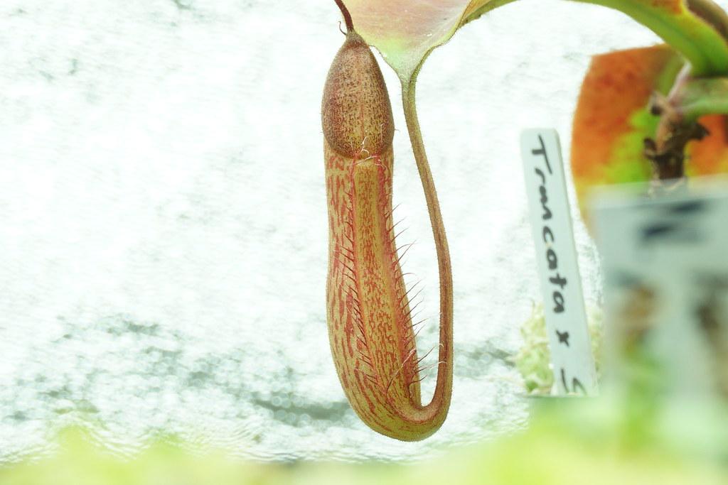 N. truncata x spectabilis
