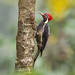 Lineated woodpecker by Yehudi Hernandez