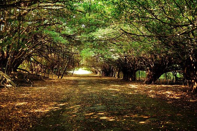 長勝園區老榕樹形成的隧道,全台只有此景,而且只供人行。(攝影:吳仁邦)