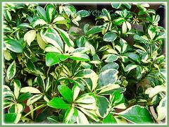 Schefflera arboricola 'Janine' at a garden nursery #1/3