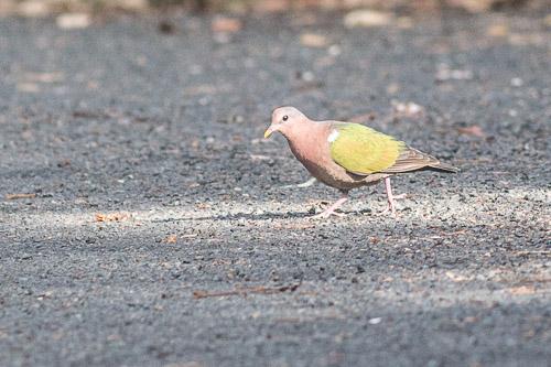 Emerald Ground-dove