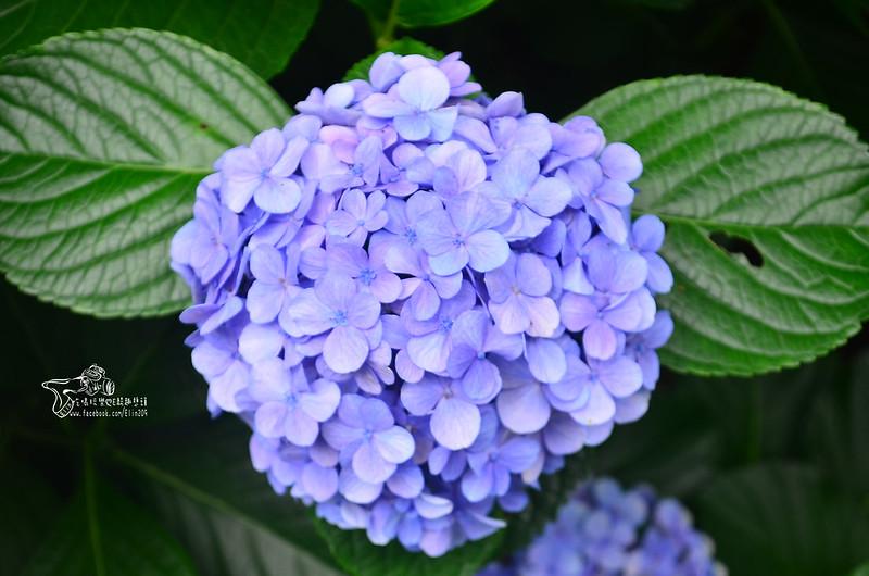 繡球花 (11)
