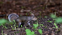 Grey Squirrel on the forest floor