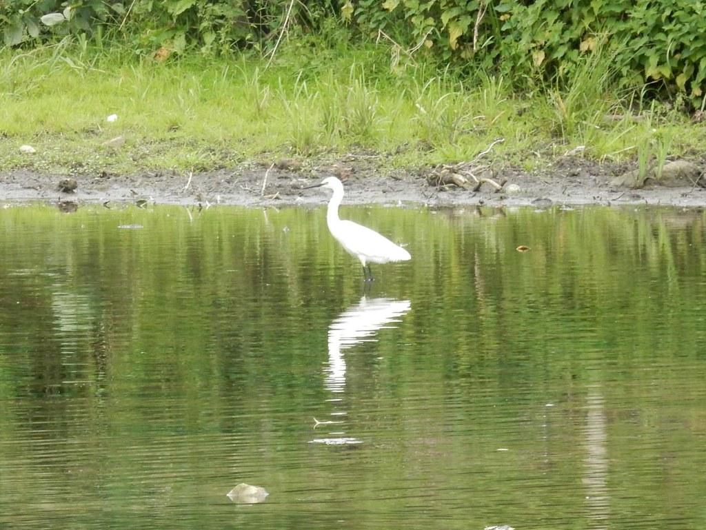 Little Egret, Sudbury Bures to Sudbury