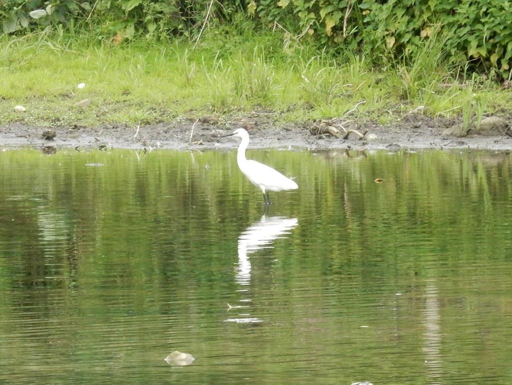 Little Egret, Sudbury Bures to Sudbury
