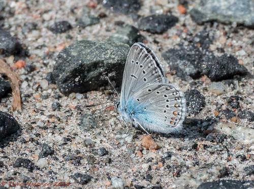 amanda nikon zoom nikkor fx 70300mm mariposa farfalla sommerfugl vlinder dx papillion fjäril polyommatus liblikas tagfalter d5200 hopeasinisiipi päiväperhonen