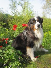 appenzeller sennenhund(0.0), australian shepherd(0.0), dog breed(1.0), animal(1.0), dog(1.0), pet(1.0), miniature australian shepherd(1.0), english shepherd(1.0), bernese mountain dog(1.0), carnivoran(1.0),