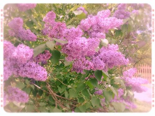 Lilacs, lilacs, everywhere