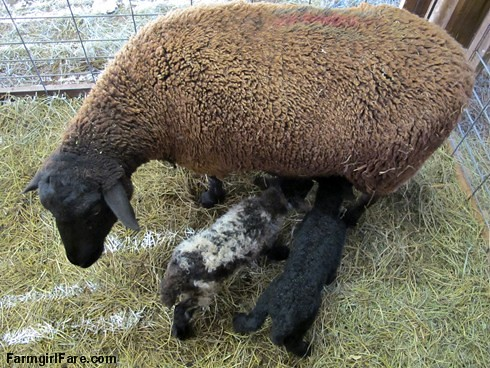 Mother's Day (4) - Godiva and her newborn twins - FarmgirlFare.com