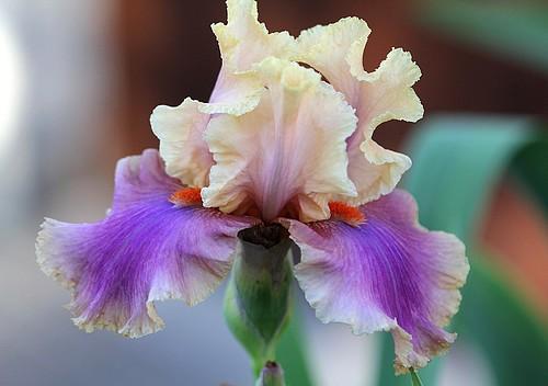 Iris - floraisons 2011 - Page 2 8734972813_09ae4f8e1e