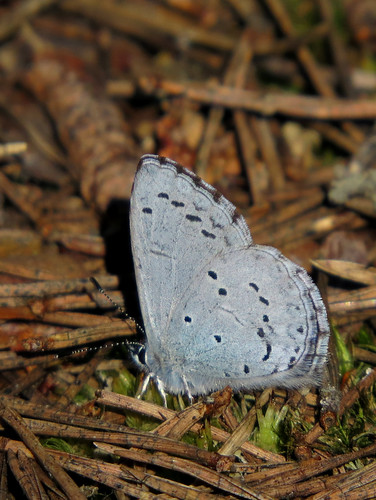 Голубянка крушинная или весенняя (Celastrina argiolus)  Photo by Kari Pihlaviita on Flickr Автор фото: Kari Pihlaviita