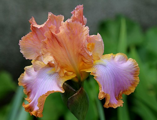 Iris - floraisons 2011 - Page 2 8736089420_6a63467650