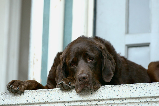Chocolate Lab Resting