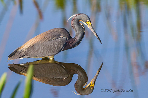 Tri-colored Heron with reflection