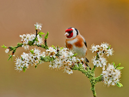 Goldfinch And White Blossom