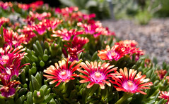 annual plant, flower, plant, nature, daisy, macro photography, wildflower, flora, meadow, ice plant, daisy, petal,