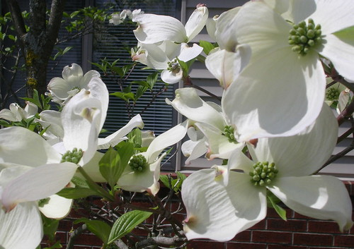 DOGWOOD..ANOTHER VIEW 2013