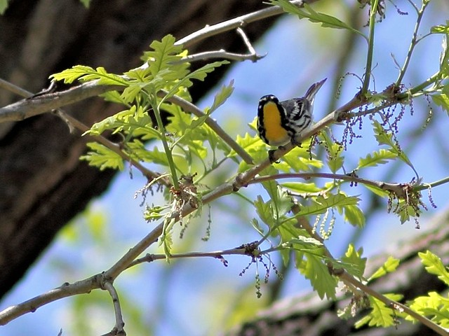 Yellow-throated Warbler COREL  3-20130514
