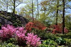 The Azalea Forest