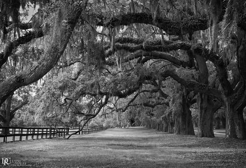 trees art monochrome nikon southcarolina plantation d800