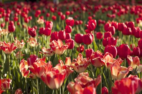 Tulips 2013