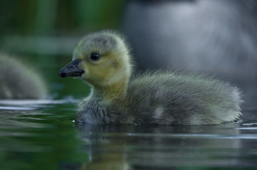 Floating Gosling 3