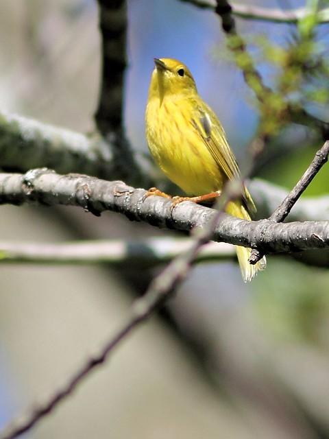 Yellow Warbler COREL 3-20130514
