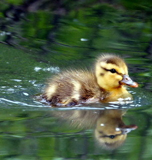 Duckling on the Move