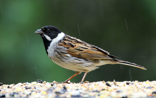 Reed Bunting In The Rain