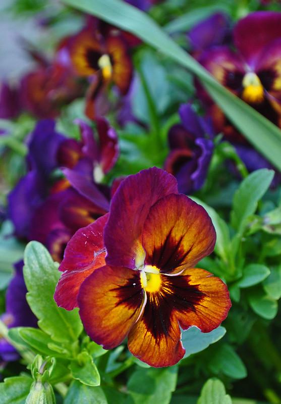 Viola x 'Persian Medley'