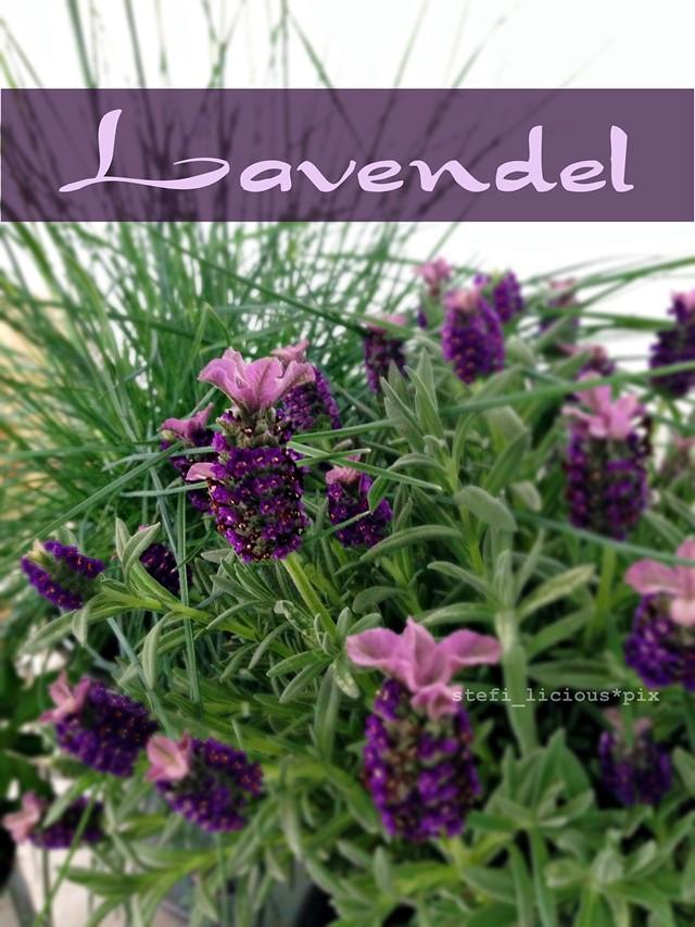 lavendel1