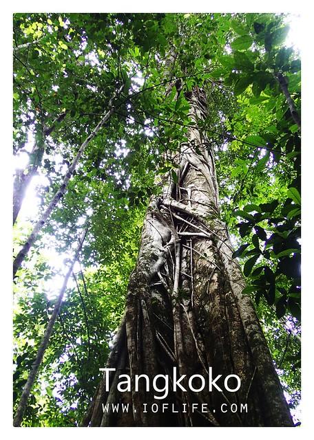 Pohon rumah tarsisius