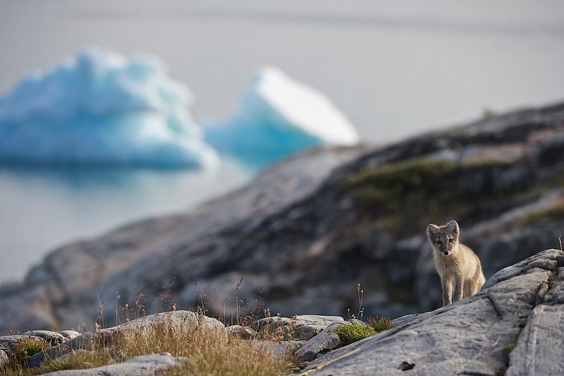 Arctic fox in foreground, icebergs in background