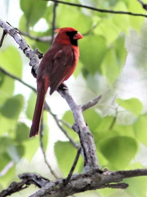 Northern Cardinal 20130515