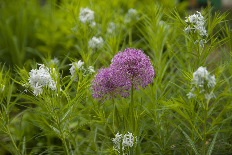 Allium and Amsonia 4