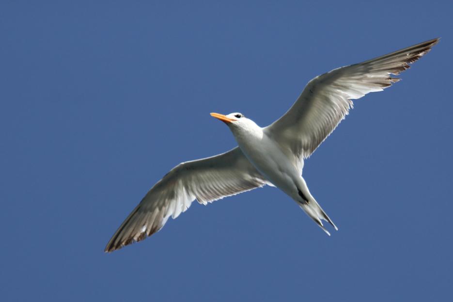 042713_birding10_leastTern