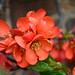 Japanese Quince by John A King
