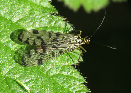 Scorpion Fly - Panorpa sp.