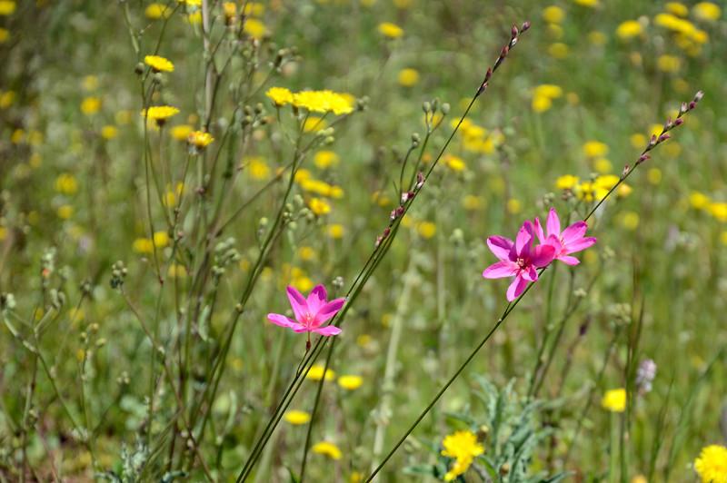 flores_rosa